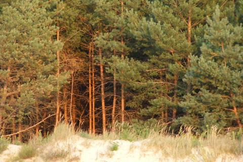 Сосновый лес на берегу.