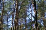 Сосны в лесу около Круглика.