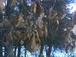 Дубовые листья.