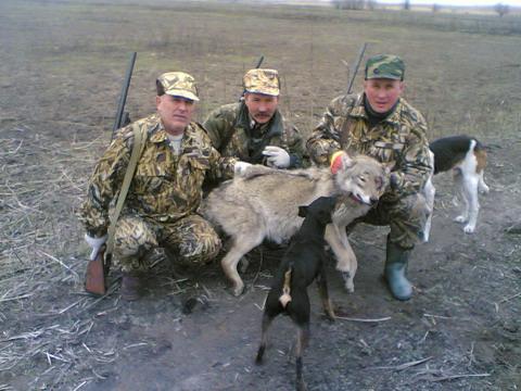 Охота в Астраханской области. Добытый волк.
