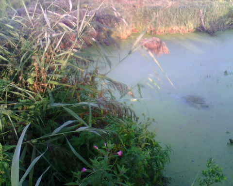 Заливчик на болоте.