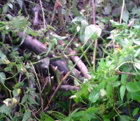 Бобровая плотина в зарослях.