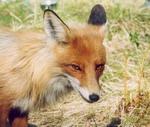 <b>Бешенство диких животных как угроза для охотника.</b>