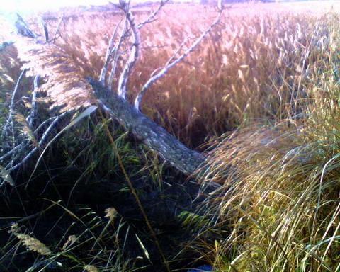 Береза над болотом.