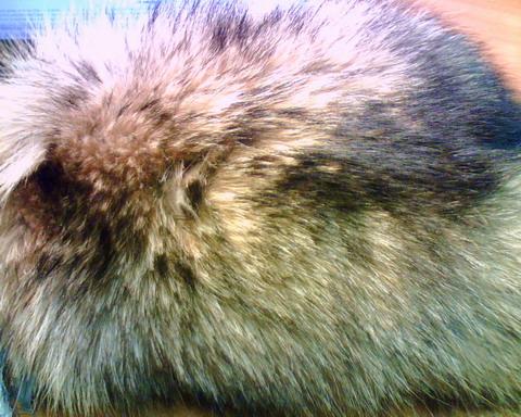 Шкура енотовидной собаки после вычинки