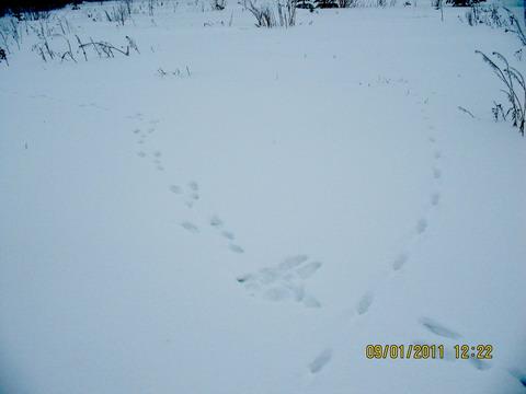 Охота зимой на засидке. Заячий малик и лисий нарыск