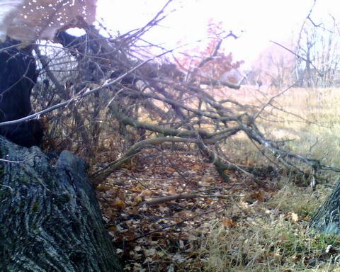 Одно из деревьев на территории пионерлагеря.