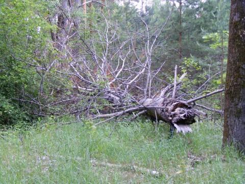 Дерево в торце плаца со стороны 4-го дивизиона.