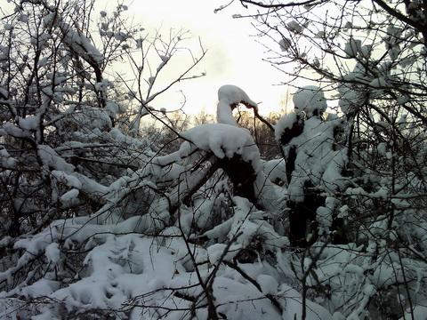 Солнце за снежными деревьями.