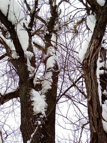 Характерные пятна на дереве, высота около 5 м.