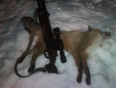 <b>Охота на лису в Сумской области.</b>